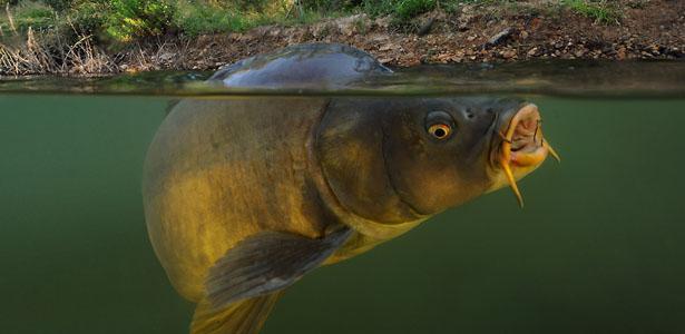 Lago verde carpfishing con carpe fino a 18kg - Carpa a specchio ...